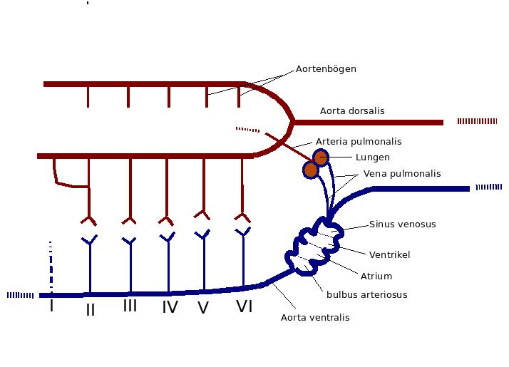 Herz-Kreislaufsysteme